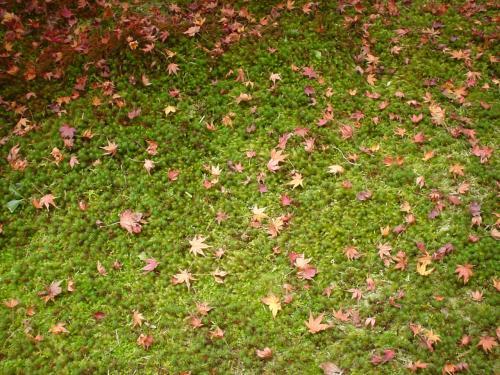 西芳寺(苔寺)です。苔のジュータンの上に広がる落葉もキレイ、、、