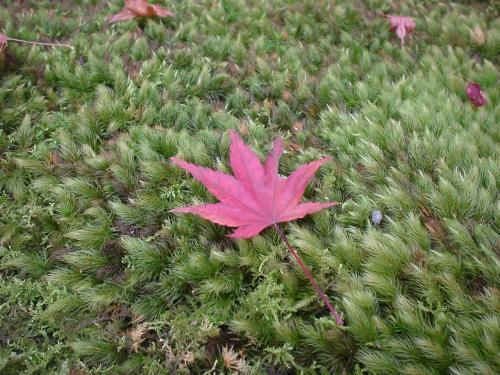 苔の上に落ちたもみじの落葉をアップで。
