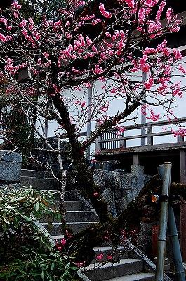 光明禅寺の門を入ったすぐ脇にあった梅の木。<br />とてもきれいなピンクの花が、六〜七分咲きくらい。