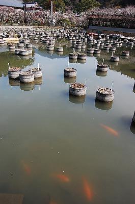 「菖蒲池」<br /><br />季節になると菖蒲の花が美しいのだと思いますが、今は殺風景な池。<br />池の鯉の朱色が透けて見えています。