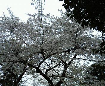 再び、エントランスの桜