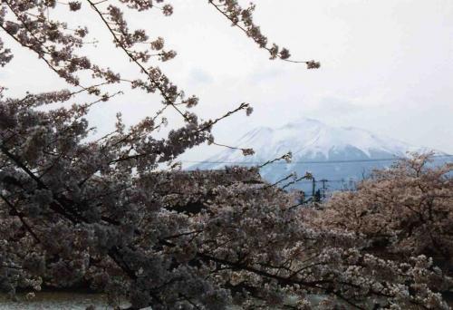 弘前公園の桜の奥から岩木山が顔をのぞかせています。