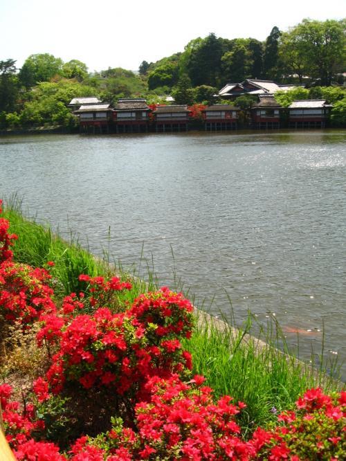 八条ヶ池に咲くキリシマツツジ