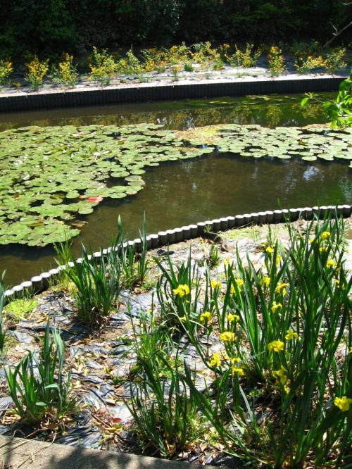 八条ヶ池に咲く杜若