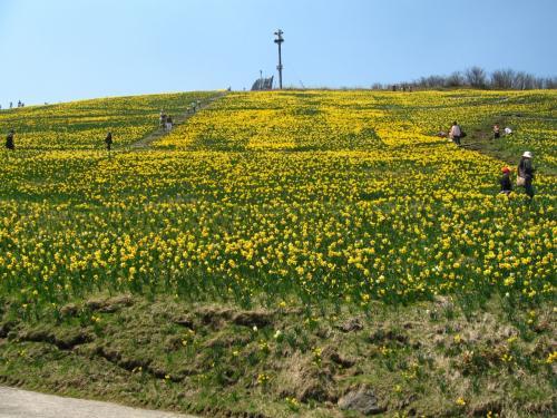 蓬莱山の傾斜面には<br />一面の水仙畑で<br />黄色に染まっています。