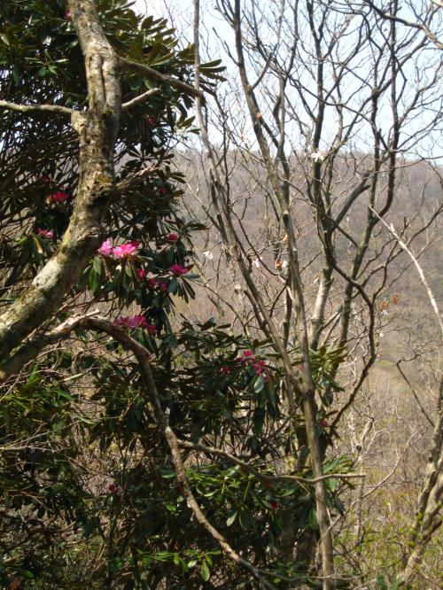 乙女橋を渡って斜面の小道を登ると<br />石楠花 (ツツジ科)<br />がチョットだけ咲いていました。<br /><br />水芭蕉・九輪草・石楠花は<br />これから楽しませてくれるようです。<br />