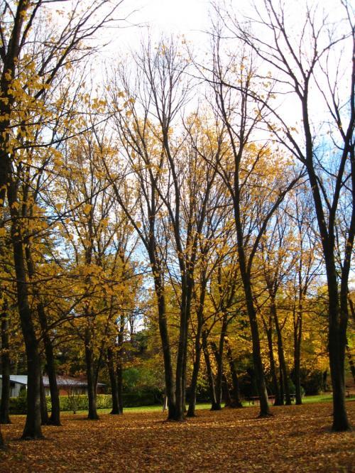 金発掘のアロータウンでの<br />黄金色の落葉樹の絨毯