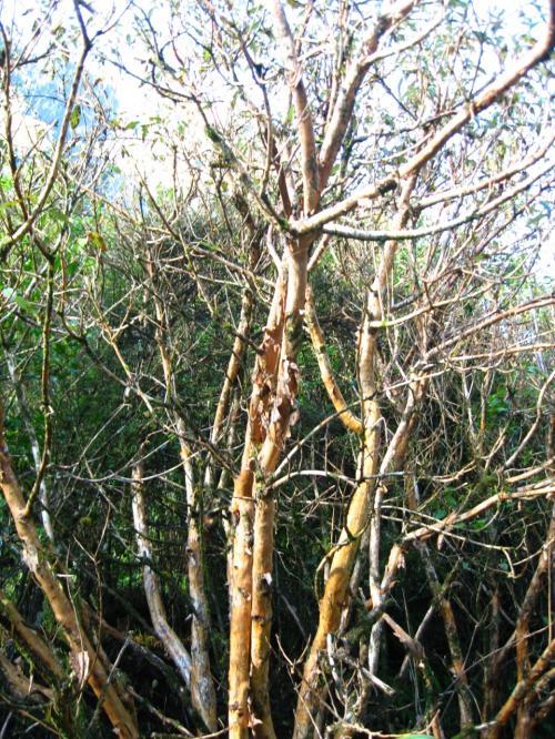 キャズムにて<br /><br />テ・アナウからのルートには<br />百日紅に似たツルッとした木肌があり<br />フクシアの原木なのだそうです。