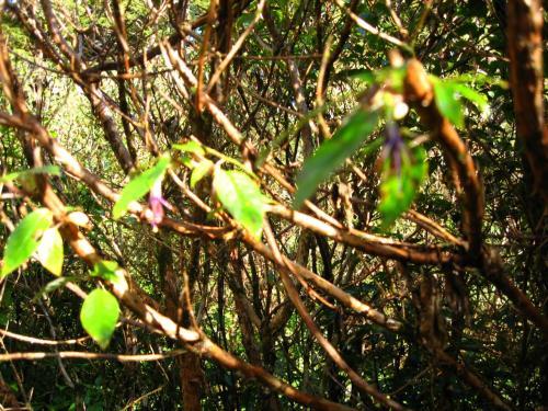 キャズムにて<br /><br />ブレた画像ですが<br />上手い事そのフクシアの花<br />の狂い咲きが見られました。