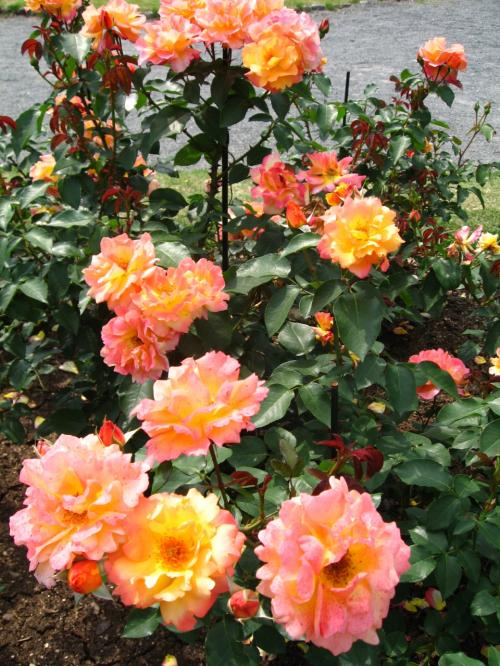 本日のお目当て<br /><br />アンネのバラ<br /><br />植物園では<br />1株だけ育てていたアンネのバラを<br />人気があるので30株ほど増やしたそうです。<br />