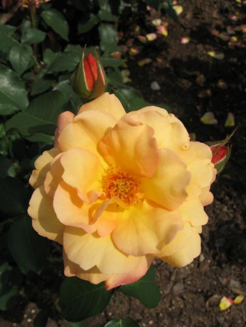 アンネのバラ<br /><br />正式名は☆アンネ・フランクの形見☆<br /><br />アンネ・フランクを偲びベルギーの園芸家が<br />1960年に発表したとのことです。
