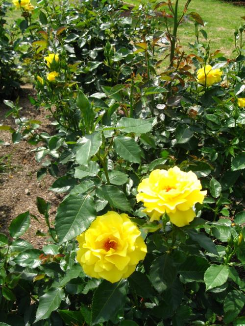 赤やピンクのバラの中でひと際目立つ<br />黄色のフリージア<br />