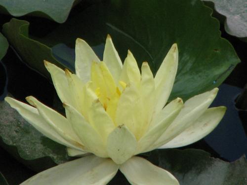 美しい睡蓮の花