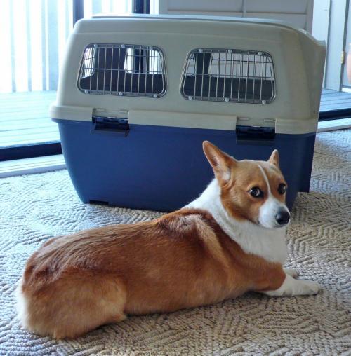 《 犬の輸送 》 2004.4<br /><br />当初の予定では某大手運送会社に輸送を依頼するつもりでやり取りをしていましたが、これがどうもどの時点まで請け負ってくれるのかはっきりしません。成田で送り出すまでだったり、別契約で宅配だったり…。見積もりも日本で伺ったのとアメリカの支社とでは別のものを提示されました。マフィンが行方不明になってしまうかも…(法的にはモノなので「紛失」ですが)<br /><br />そこで弟が週末にサンフランシスコを往復する強行スケジュールで連れてきてくれることになりました。航空会社によって貨物室預かり料金やケージの大きさが異なりますが、人間1人分チケット+貨物室預かり料を合わせても犬だけの輸送委託に比べて半分でした。これで迷子にもならず一安心。<br /><br />ケージ<br />普段から中でやっと一回転できるぐらいのケージをハウスにしていて20時間ぐらいはその中で留守番ができます。ある航空会社ではそのケージでも規定内でしたが、今回チケットを取った航空会社ではもっと大きなケージが必要だったので新調しました。マフィンが4匹ぐらい入れる豪邸です。<br /><br />==*==*==*==*==*==*==*==*==*==*==*==<br />ケージの規定<br /><br />*硬いプラスティック製(ドア部分が金属製。IATA基準をクリアーしたもの)<br />*給水器(外付け)<br />*水受け<br />*えさ入れ<br />*大きさは各航空会社によって異なる<br />==*==*==*==*==*==*==*==*==*==*==*==<br /><br />えさ入れを付けていても入れた途端に平らげるのであまり意味がありませんが。 <br />