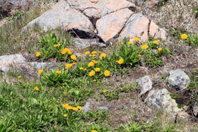 夏の昼間は外気温10-15℃で暖かくこのようなタンポポも咲いている