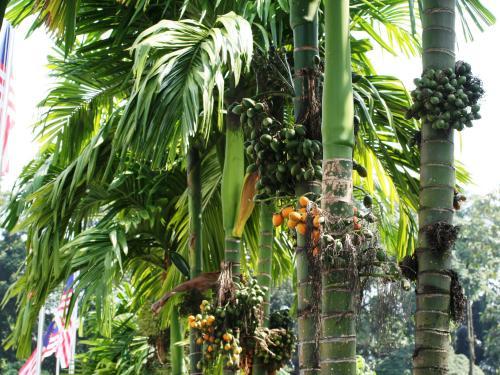 ビンロウジュです。黄色い実がなっていました。バリ島旅行の時、一度だけ口に含みましたが、懲りました。