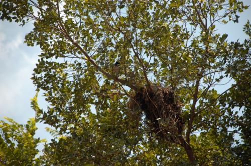 鳥の巣。<br />夫婦で子育て中でした!