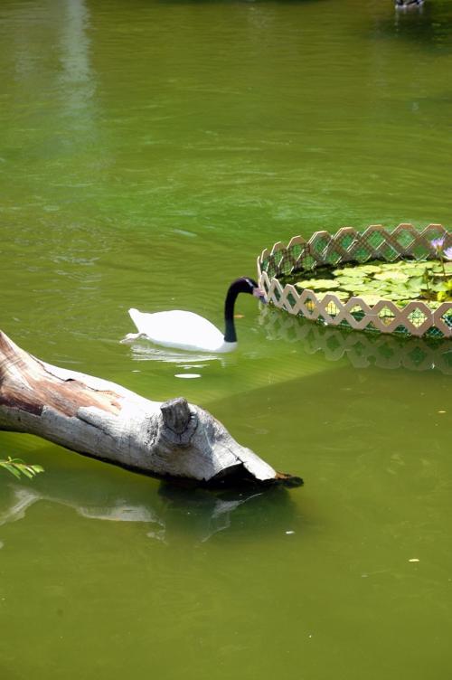 いつものように、池には沢山の水鳥が寛いでいます。