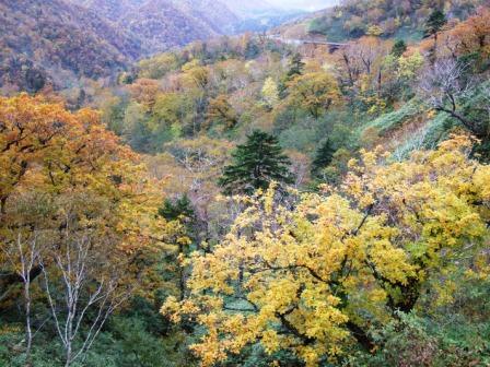 北海道は、黄色・茶色が多い紅葉。<br />赤は、たまにさし色のように現れます。<br />