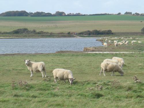 ハイキングコース沿いの羊たち。たくさんいました。うん●も落ちていましたが(笑)