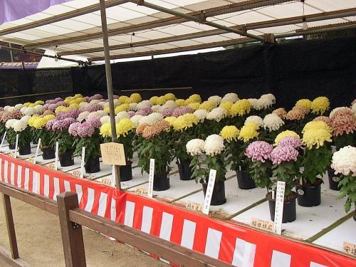 現在「大菊花展」が催されています。<br />華やかです。<br />今見ているのは、「ダルマ作り」という構成の花壇だそうです。