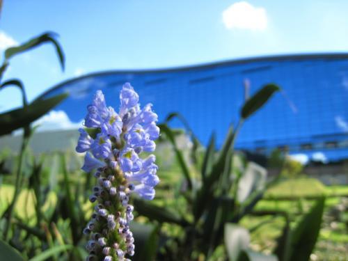 『九州国立博物館』内のビオトープ。<br />ビオトープに咲く花と、博物館。