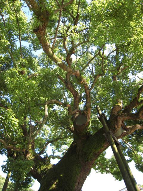 太宰府天満宮の『大楠』です。<br />樹齢千年を越える楠もあります。<br /><br />子供の頃は、大楠の窪みに入ってかくれんぼをして遊んでいました。<br />今は、立ち入り禁止になっているようです。