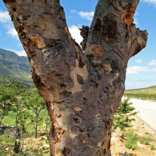 この木は・・・