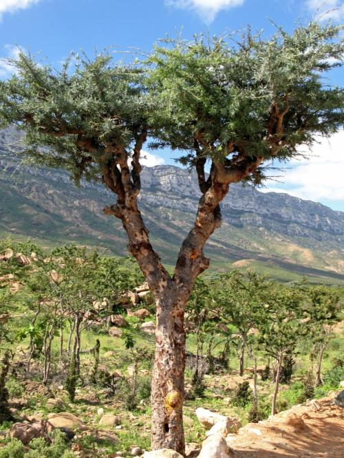 Socotran Frankincense