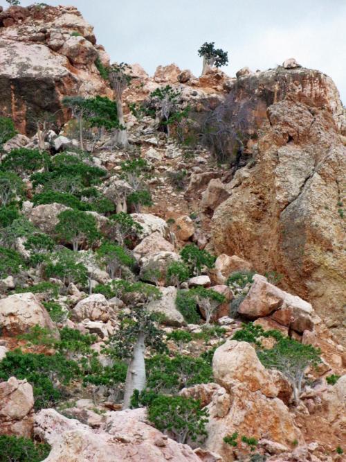 Socotran Fig Trees