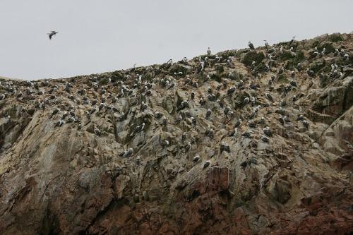 大量の鳥が岩肌にうじゃうじゃと…。ミニ・ガラパゴスと呼ばれるだけあって、鳥の人口密度が大変な事になってます。<br /> ちなみに岩が白っぽくなっているのは全部鳥のフン。写真じゃ伝わらないけど、ツアー中はとにかく臭くてたまらない!(~_~;)
