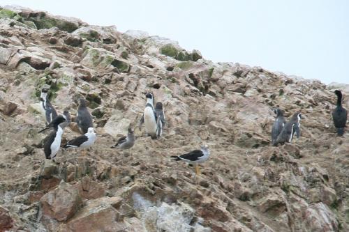 数は少ないけど、フンボルトペンギンもいた。野生のペンギンを見たの初めて!なんかうれしい。