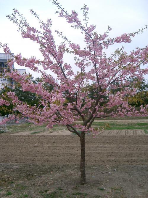 桜を発見。(でもこれ河津桜です。)