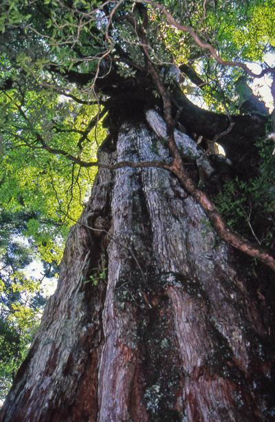 この島の杉は神社などで見る静謐なものとは違い、形も自在で生命力にあふれているよう。