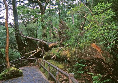 ヤクスギランドに着きました。<br />ここはガイドさんもご一緒せず、それぞれ散策を楽しみました。<br />歩道が整備され、森も明るく歩きやすいです。