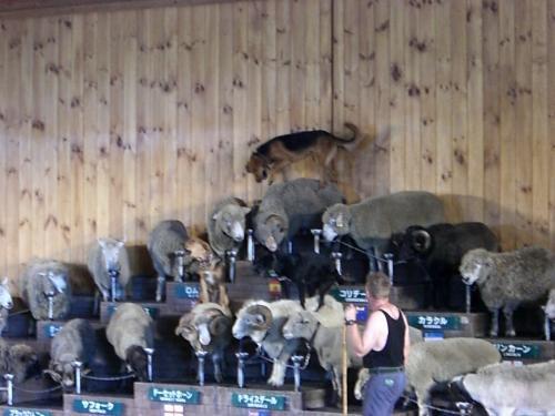 羊は犬の踏み台となります。