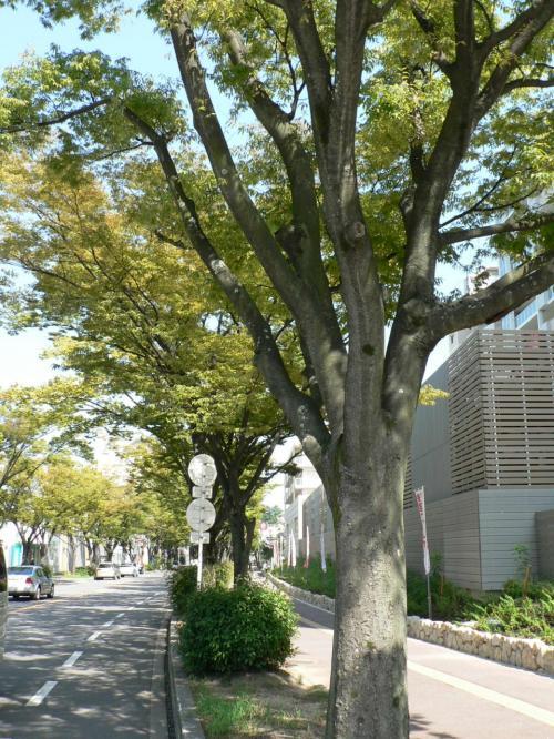 枚方八景のひとつになっている「香里団地の並木」。