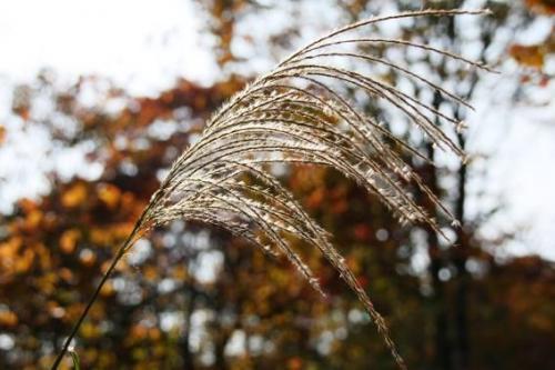 キラキラ輝くススキ。う〜ん、秋ですねぇ〜。