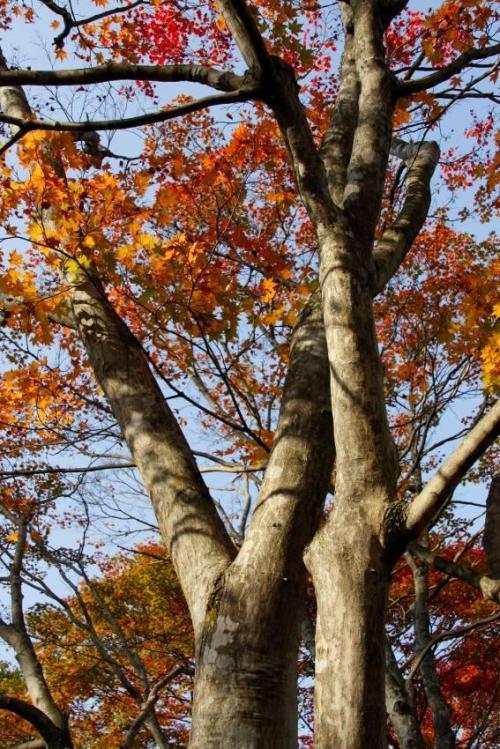 ここは木々の紅葉の早さがそれぞれ違うので、いろいろな紅葉の姿が楽しめます。