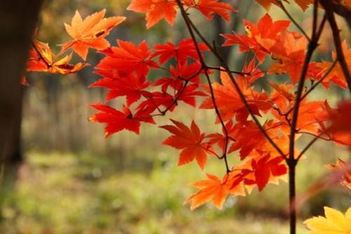 真っ赤な紅葉が日に当たって、本当に綺麗!