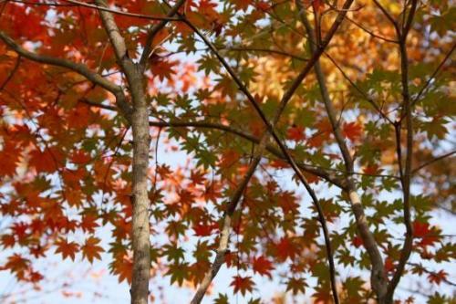 紅葉のグラデーションが優しい感じで思わず見とれてしまいました。