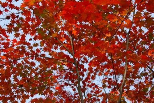 こちらの紅葉は一面の赤。本当にいい時に出かけました。ラッキー!