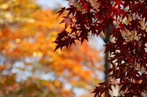 こちらは渋い色をした紅葉。後ろの樹は紅葉が終わりかけていましたけど、カメラの絞りでごまかしてみました。