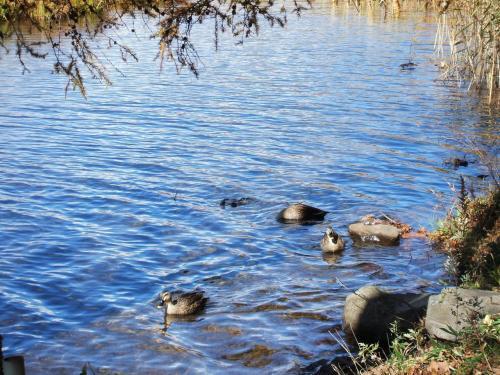 可愛らしい鴨たち(写真)。冬になると女神湖は全面凍結してしまうので水鳥達は住めない。