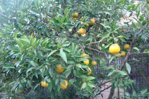 枝もたわわに柚子がなっています。