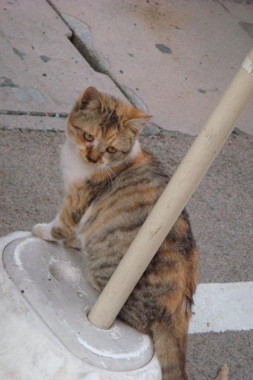(=`ω´=) こちらは本物の猫...(笑)<br /><br />おちょぼさんでは沢山の猫を見かけますが、どの猫も人馴れしています。地元の人たちに可愛がられているんだね♪