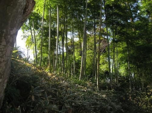 傾斜がほぼ45度の急な地形に、竹林が真直ぐに伸びています。