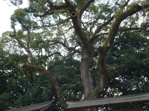 その横には大きなクスノキ(?)がありました。<br />枝が伸びすぎたせいでしょうか、かなり切られた痕があります。