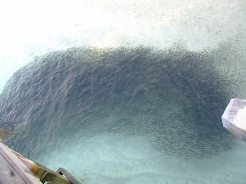 滑り台下の魚の大群。<br />砂浜近くにいつも群れを作っていました。<br />何もかもがおもしろい。