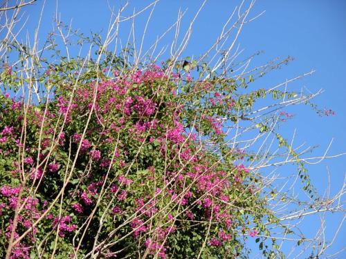バイア 宮殿に 咲いていた! <br />ピンク色の 南国の お花。